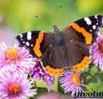 Фото бабочка адмирал