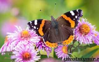 Рисунок бабочки адмирал