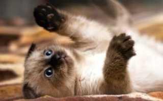 Сиамские котята рождаются