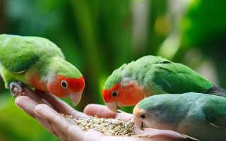 Неразлучники или волнистые попугаи