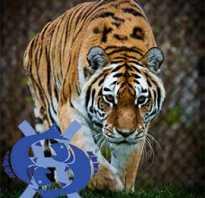 Какую рыбу называют тигром за характер
