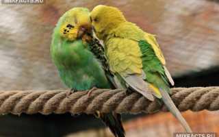 Домашний попугай фото
