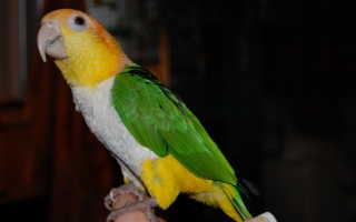 Попугай с желтой головой