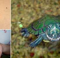 Черепахи водные домашние маленькие