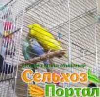 Авито попугай корелла