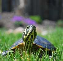 Скорость черепахи на суше