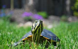 Скорость черепахи в воде