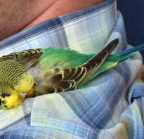 Спящий попугай фото