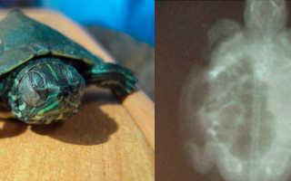Черепаха плавает кверху брюхом