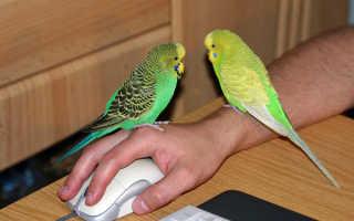 Как быстро приручить попугая