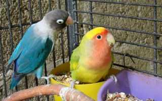 Чем можно заразиться от попугая