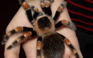 Как содержать паука птицееда