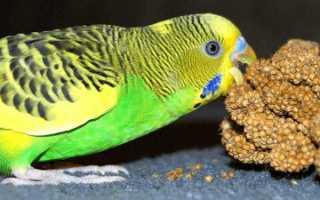 Заболел волнистый попугайчик