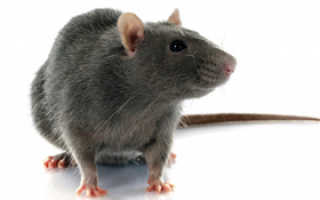 Завести крысу дома плюсы и минусы