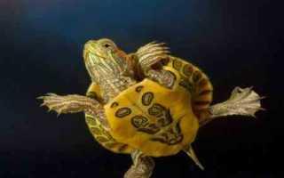 Как понять пол черепахи