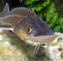 Стерлядь какая рыба