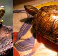 Черепаха красноухая сколько живут