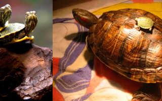 Как умирают черепахи