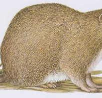 Тростниковая крыса фото