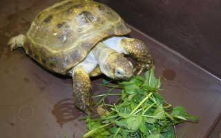 Чем кормят черепаху