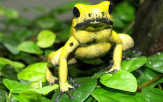 Ядовитая лягушка из тропиков 4