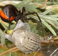 Австралийский паук с черепом