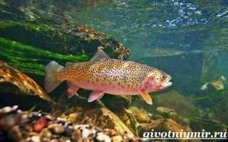 Форель какая рыба