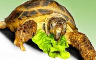 Сколько должна есть черепаха сухопутная