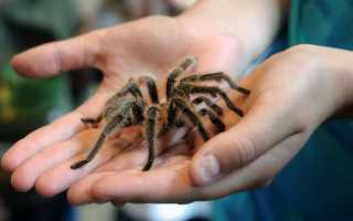 Кусается ли паук птицеед