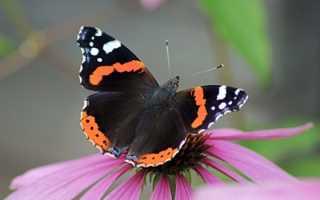 Адмирал бабочка гусеница