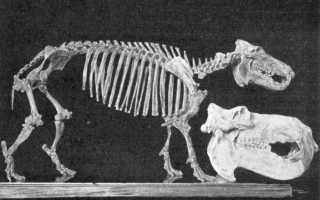Мадагаскарский карликовый бегемот описание