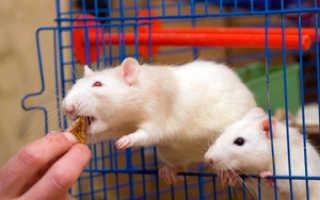 Сколько лет живут белые крысы
