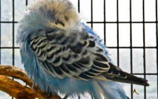 Почему попугай прячет голову в перья