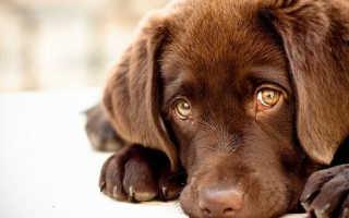 У собаки слезятся глаза что делать