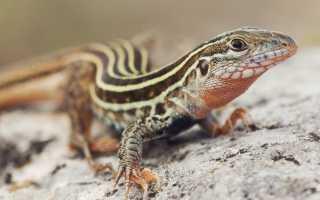 Где обитают ящерицы в природе