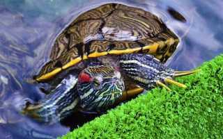 Заболела красноухая черепаха