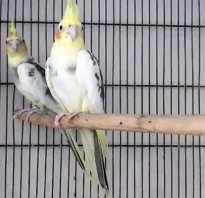 Попугай корелла различие пола