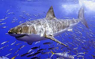 Внешний вид колючей акулы