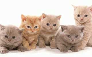 Чем кормить вислоухого британца кота