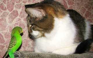 Как приучить кота к попугаю
