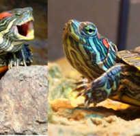 Красноухая черепаха не ест но активная