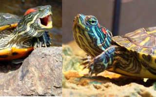 Почему не ест красноухая черепаха водная