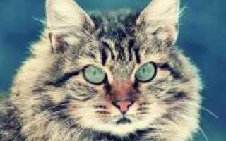 Сибирский кот картинки
