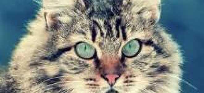 Русско сибирская кошка