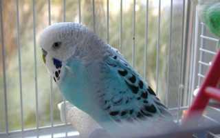 Волнистый попугай как научить говорить быстро