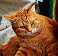 Имена для кошек рыжего цвета