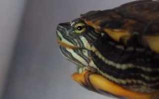 Если черепаха чихает