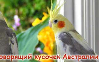 Новокузнецк попугаи корелла жако