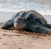 Морская черепаха скорость