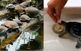 Что ест болотная черепаха